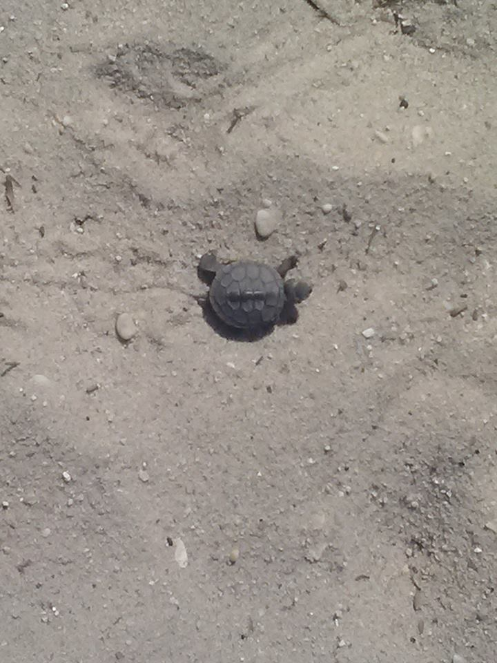 Baby Sea Turtles 3